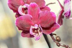 De donkerrode bloemen van de orchidee dichte omhooggaande die tak, op bokeh worden geïsoleerd Stock Afbeeldingen