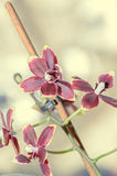 De donkerrode bloemen van de orchidee dichte omhooggaande die tak, op bokeh worden geïsoleerd Royalty-vrije Stock Foto