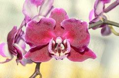 De donkerrode bloemen van de orchidee dichte omhooggaande die tak, op bokeh worden geïsoleerd Stock Foto