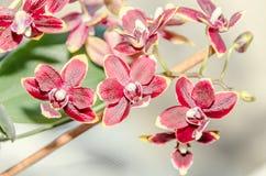 De donkerrode bloemen van de orchidee dichte omhooggaande die tak, op bokehachtergrond worden geïsoleerd Royalty-vrije Stock Afbeeldingen