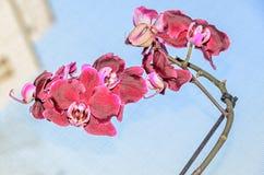 De donkerrode bloemen van de orchidee dichte omhooggaande tak, blauwe achtergrond Stock Foto's