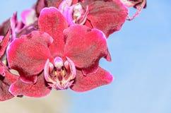 De donkerrode bloemen van de orchidee dichte omhooggaande tak, blauwe achtergrond Royalty-vrije Stock Afbeeldingen