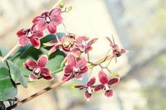 De donkerrode bloemen van de orchidee dichte omhooggaande tak, op bokeh Stock Foto's
