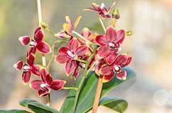 De donkerrode bloemen van de orchidee dichte omhooggaande tak, op bokehrug Stock Afbeelding