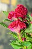 De donkerrode Celosia-soort Celosia, hanekam van cristatabloemen Royalty-vrije Stock Fotografie
