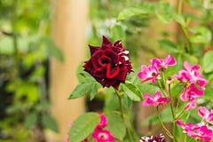De donkerrode rozen zijn mooie en geurige bloemen Royalty-vrije Stock Foto's