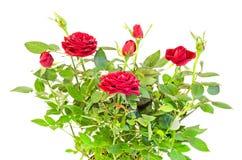 De donkerrode struik van de rozenbloem met knoppen, groene bladeren, sluit omhoog Royalty-vrije Stock Foto's