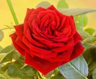 De donkerrode struik van de rozenbloem met knoppen, groene bladeren, sluit omhoog Royalty-vrije Stock Afbeelding