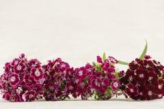 De donkerrode zoete bloemen van William Stock Afbeeldingen