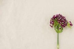 De donkerrode zoete bloemen van William Royalty-vrije Stock Foto