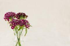De donkerrode zoete bloemen van William Stock Afbeelding