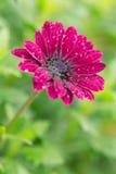 De donkerroze bloem van kleurengerber Stock Foto