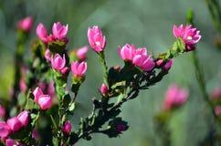 De donkerroze bloemen van Australische Inheems namen, Boronia-serrulata toe royalty-vrije stock foto