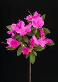 De donkerroze Bloemen van de Azalea Stock Foto