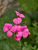 De donkerroze geranium bloeit close-up Stock Foto's