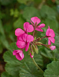 De donkerroze geranium bloeit close-up Stock Foto
