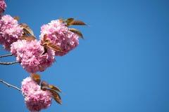 De donkerroze kersenbloesems zijn gegroepeerd tegen een duidelijke blauwe hemel stock foto