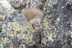 De donsachtige Polaire Jager van het kuikenZuiden die onder de rotsen dichtbij nes wordt verborgen Stock Foto