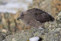 De donsachtige Polaire Jager van het kuikenzuiden onder de rotsen van de Zuidpool is Royalty-vrije Stock Afbeeldingen
