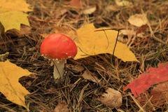De doodsglb paddestoel en abscissed bladeren Royalty-vrije Stock Fotografie