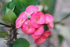 De Doornbloem van Christus/Wolfsmelkmilli of kroon van doornen rode bloem op natuurlijke groene achtergrond - roze van Wolfsmelkm stock afbeeldingen
