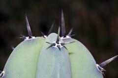 De doornen van cactussen royalty-vrije stock foto