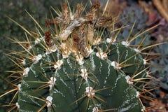 De doornen van cactussen stock afbeelding