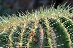 De doornen van cactussen royalty-vrije stock afbeelding
