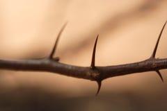 De doornen van de acacia Royalty-vrije Stock Afbeeldingen
