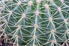 de doornen van een succuloent installatieechinocactus royalty-vrije stock fotografie