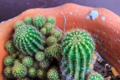 De doornige cactus is een tropische installatie royalty-vrije stock afbeelding