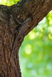 De doornige die hagedis van Texas op boomschors wordt gecamoufleerd stock fotografie