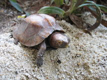 De doosschildpad van Keeled Stock Afbeelding