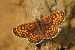 De dopheide Fritillary (athalia Melitaea) stock fotografie