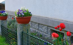 De dorpstuin De lentetuin voor dorpshuis Tulpen in een kleine tuin De lentebloemen in een plastic bloempot Ijzer Stock Foto's