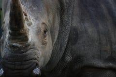 De Draai van de rinoceros Stock Fotografie