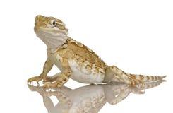 De draak van jonge Lawson - henrylawsoni Pogona Royalty-vrije Stock Afbeeldingen