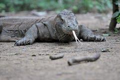De draak van Komodo Stock Foto