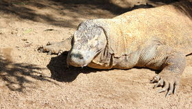 De Draak van Komodo Stock Fotografie