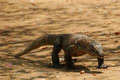 De Draak van Komodo Royalty-vrije Stock Foto