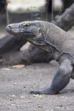 De draak van Komodo bekijkt dreigend camera Royalty-vrije Stock Fotografie