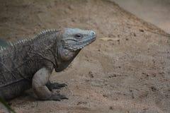 De Draak van Komodo (komodoensis Varanus) Stock Afbeeldingen