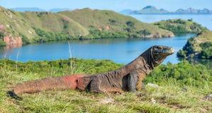 De Draak van Komodo Varanuskomodoensis indonesië stock afbeeldingen