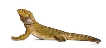 De draak van Lawson, Pogona henrylawson Stock Afbeelding