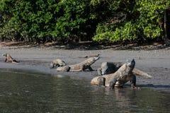 De draken van Komodo Royalty-vrije Stock Afbeeldingen