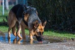 De dranken van de Duitse herderhond uit een vulklei van water royalty-vrije stock foto