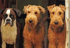 De drie amigo-verschillende rassenhonden, beste vrienden Royalty-vrije Stock Afbeeldingen