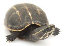 De drie-gestreepte Schildpad van de Modder Stock Foto