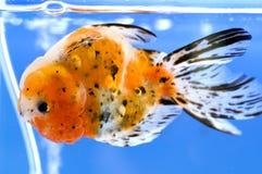 De drijvende bovenkant van de goudvis - neer Royalty-vrije Stock Foto