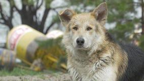De droevige beige hond-bastaard op een leiband is Close-up, selectieve nadruk bastaarde dichte omhooggaand van de hondhond van de stock footage
